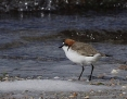 Plover_Redcapped_2013-11-23