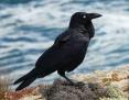 Raven_Australian_2008-02-24