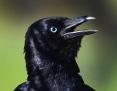 Raven_Australian_2016-11-20