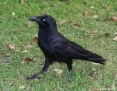 Raven_Australian_2018-11-06_1