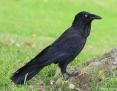Raven_Australian_2018-11-06_2