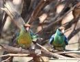 Ringneck_Australian (Mallee Ringneck)_2014-10-18