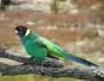 Ringneck_Australian (Port Lincoln Parrot)_2008_03_21