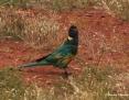Ringneck_Australian (Port Lincoln Parrot)_2010_10_12