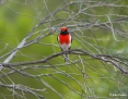 Robin_Redcapped_2009-05-14_2