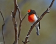 Robin_Redcapped_2013-10-15