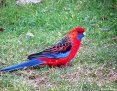 Rosella_Crimson (Adelaide Rosella)_2012-08-24