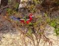 Rosella_Crimson (Kangaroo Island Rosella)_2007-12-11