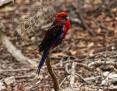 Rosella_Crimson (Kangaroo Island Rosella)_2014-04-10
