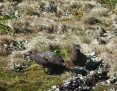 Skua_Brown_2010-10-27