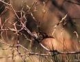 Spinifexbird_2003-10-12