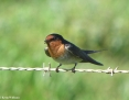 Swallow_Welcome_2010-08-18