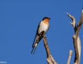 Swallow_Welcome_2013-04-26_2