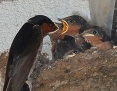 Swallow_Welcome_2014-10-05