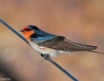 Swallow_Welcome_2017-08-01
