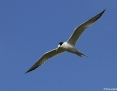 Tern_Greater_Crested_2013-11-02
