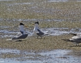 Tern_Greater_Crested_2013-11-10