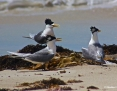 Tern_Greater_Crested_2014-11-22