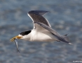 Tern_Greater_Crested_2016-01-17