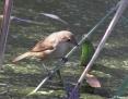 Warbler_Australian_Reed_2010-01-04