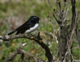 Wagtail_Willie_2004-08-26