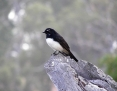 Wagtail_Willie_2008-03-10