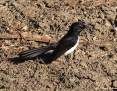 Wagtail_Willie_2009-09-05