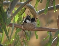 Wagtail_Willie_2012-01-14