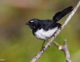 Wagtail_Willie_2012-11-22