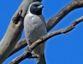 Woodswallow_Masked_2013-09-15_2