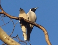 Woodswallow_Masked_2015-10-03