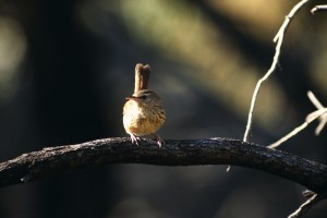 One of Lynn's first photo's of the Flinders Ranges Chestnut-rumped Heathwren. Credit: Lynn Pedler