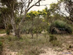 Aldinga Scrub Conservation Park - Golden Wattle and Xanthorrhoea
