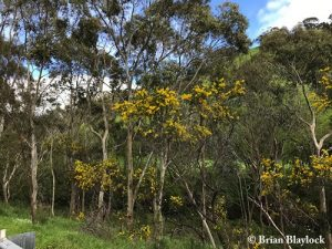 Acacia pycnantha along Brownhill Creek