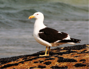 Adult Kelp Gull