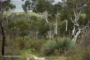 Manning Reserve - Xanthorrhoeas and Pink Gum