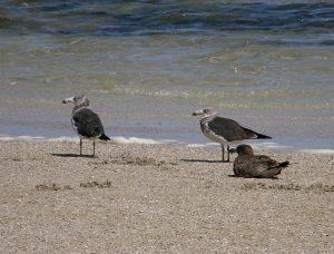 Immature Pacific Gull