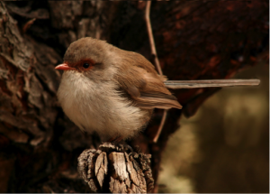 superb fairywren birds sa